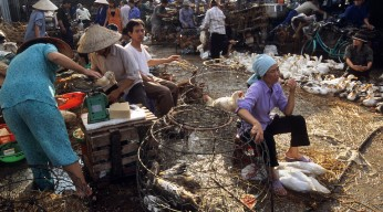 Vietnam, Hanoi, Live ducks and chickens for sale in Long Bien Market. Vietnam suffered outbreaks of Avian flu in 2004-5.